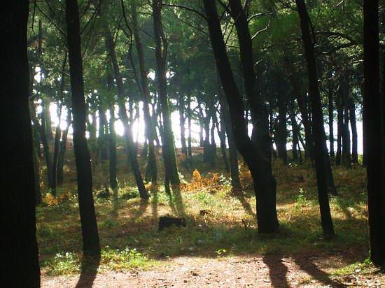 Pine Forest I.jpg