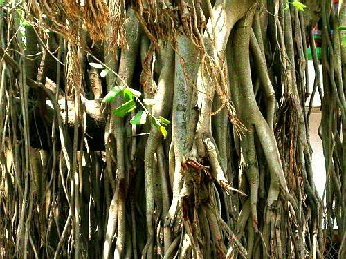 Banyan Tree.jpg