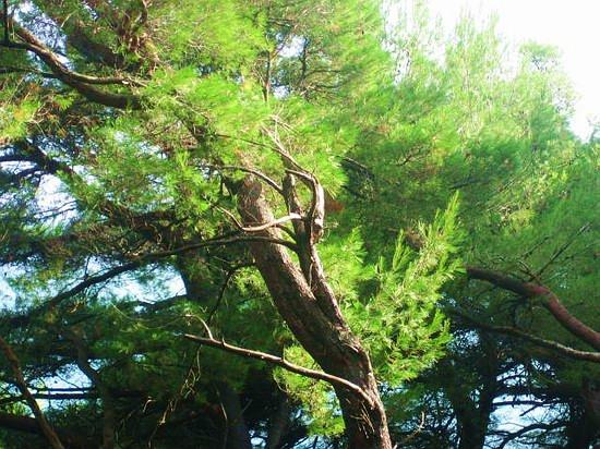 Dance of Pine's II.jpg