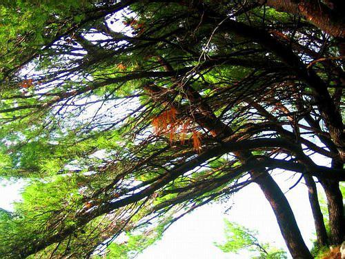 Dance of Pine's.jpg