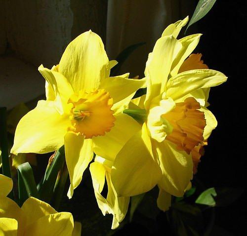 Narcissuses I.jpg