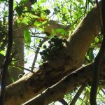Banyan Tree II.jpg