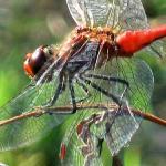 Dragonfly II.jpg