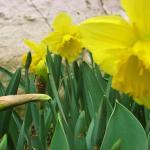 Narcissuses II.jpg