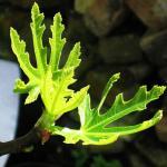 Spring leafs - Fig.jpg