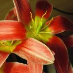 Tulips I.jpg